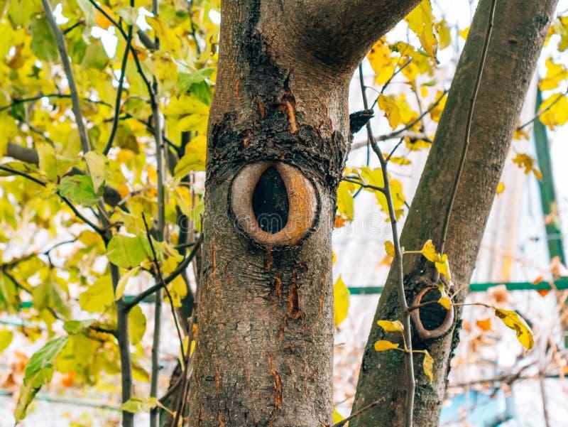 Eine Narbe auf dem Apfelbaum von einer Schnittniederlassung Gelbes Laub im Au stockfotos