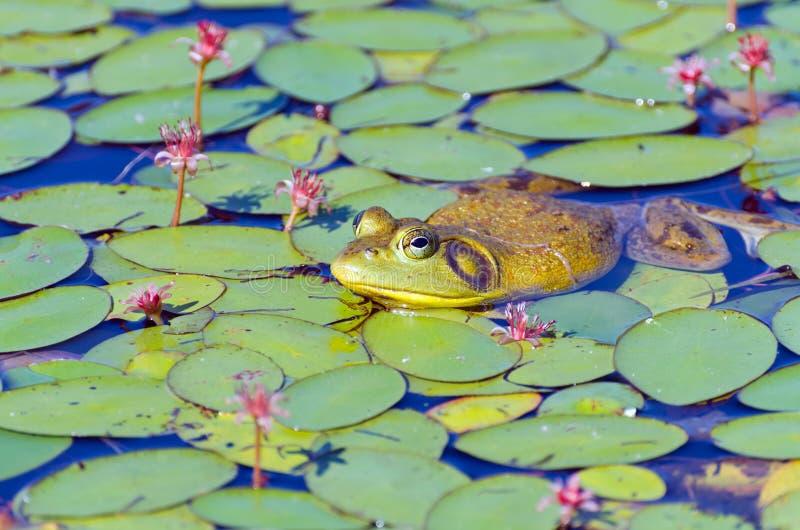 Nahaufnahme von Stier-Frosch auf Lilien-Auflagen stockbild