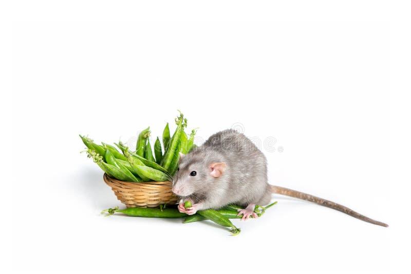 Eine nette Dumbo-Ratte auf einem weißen Hintergrund lokalisiert, grüne Erbsen essend Nettes Haustier Das Symbol von 2020 lizenzfreie stockfotos
