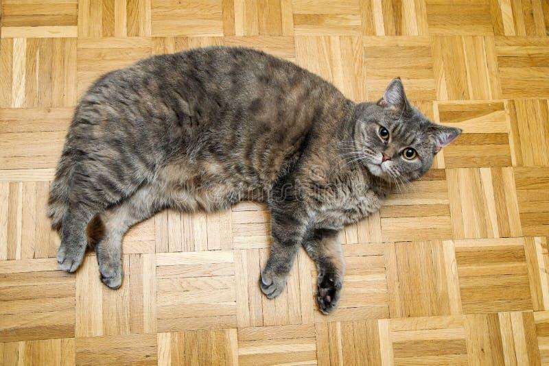 Eine nette faule britische Katze stockfotografie