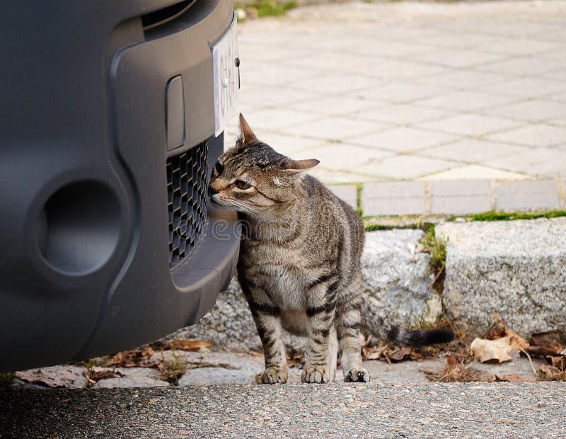 Eine neugierige Katze sucht nach einem interessanten Geruch in einem Auto stockbild