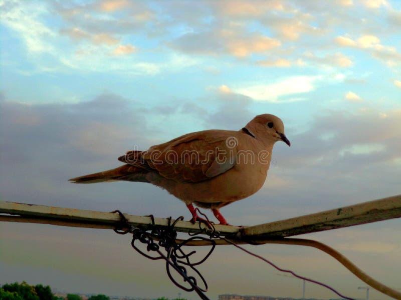 Eine neugierige Taube stockfoto