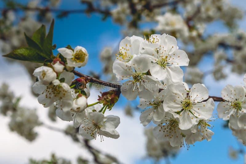 Eine Niederlassung der blühenden Kirsche auf einem blauen Hintergrund lizenzfreies stockfoto