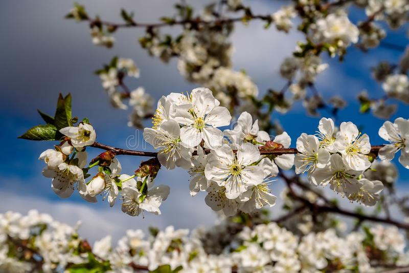 Eine Niederlassung der blühenden Kirsche auf einem blauen Hintergrund stockfotos