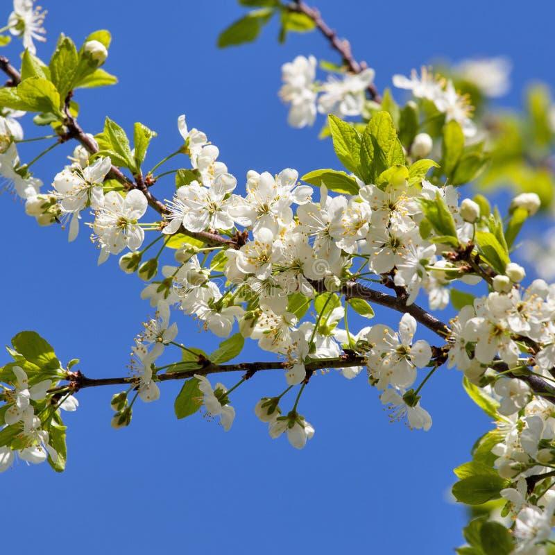 Eine Niederlassung der Kirschblüten gegen den blauen Himmel lizenzfreies stockbild