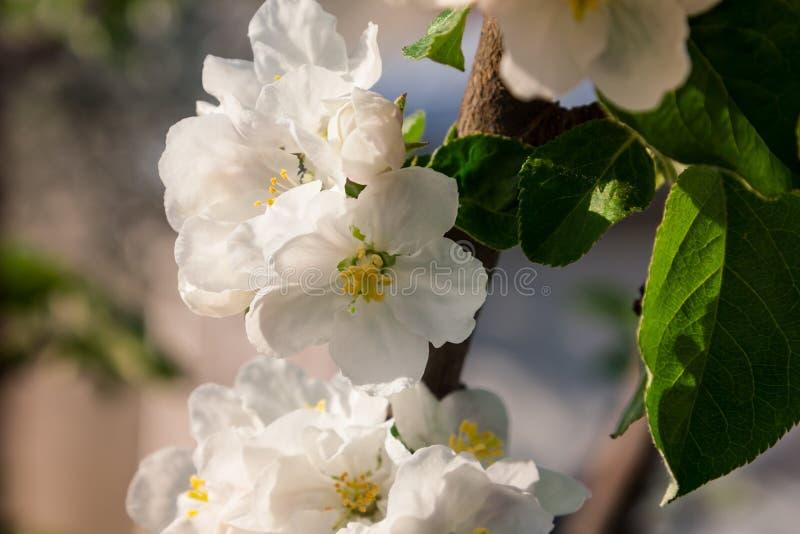 Eine Niederlassung des blühenden Apfels auf einem blauen Hintergrund stockfoto