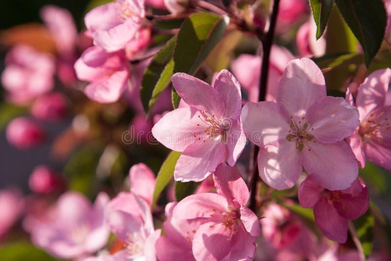 Eine Niederlassung des blühenden Apfels auf einem blauen Hintergrund stockfotos