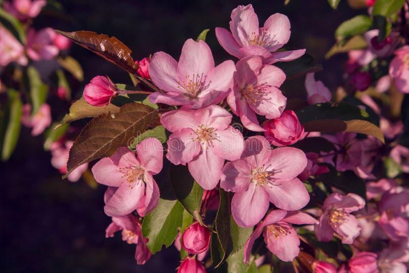 Eine Niederlassung des blühenden Apfels auf einem blauen Hintergrund stockbild