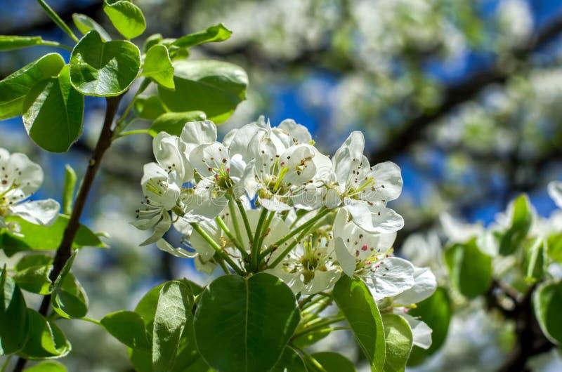 Eine Niederlassung des blühenden Baums stockfotografie