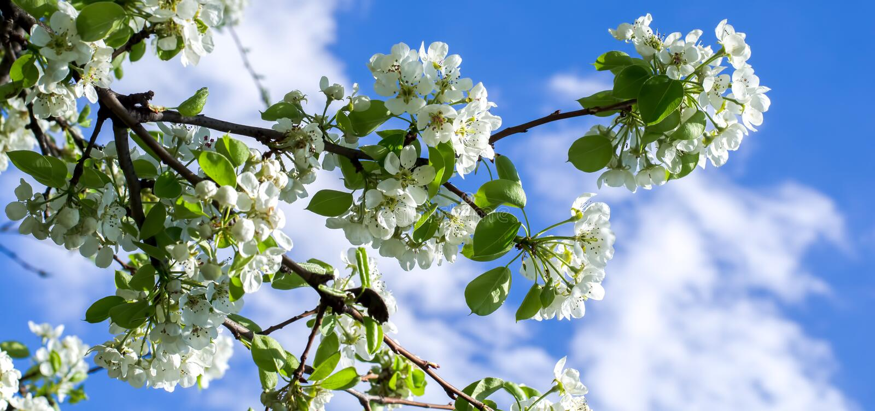 Eine Niederlassung des blühenden Baums stockbild