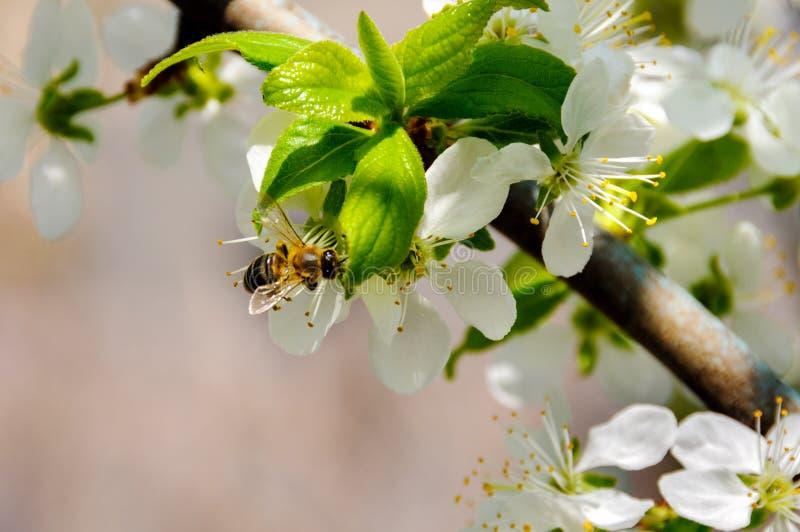Eine Niederlassung des blühenden Kirschim frühjahr Gartens stockfoto