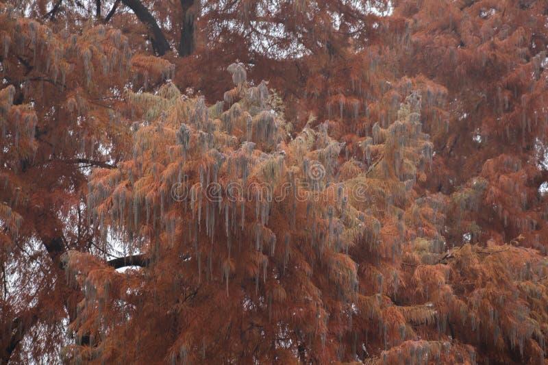 Eine Niederlassung des roten Baums in Giardini Margherita Park Bologna, Emilia Romagna, Italien stockbild