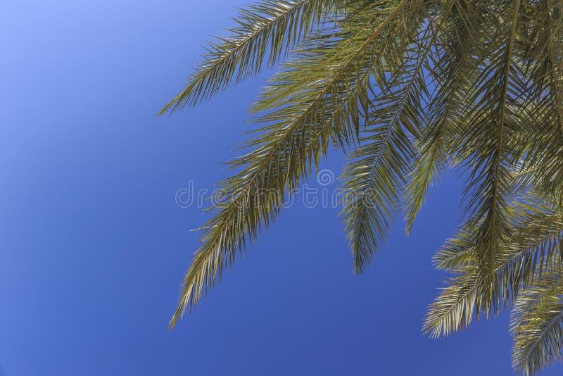Eine Niederlassung einer Palme gegen den blauen Himmel lizenzfreies stockfoto
