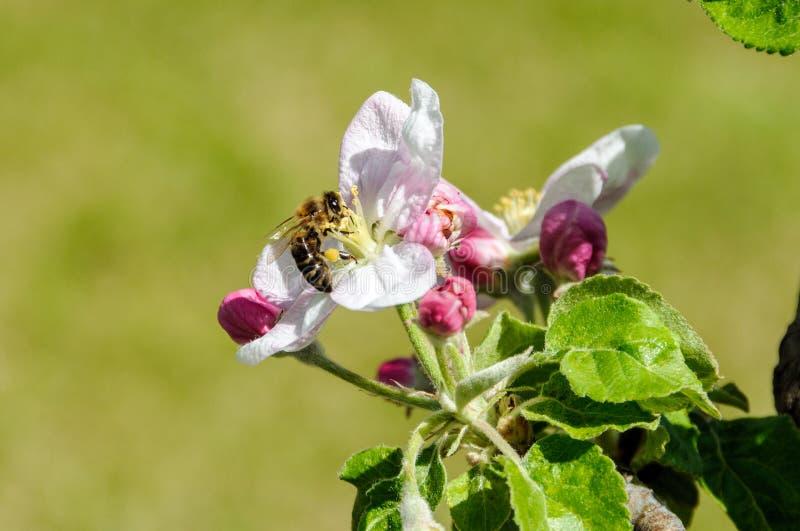 Eine Niederlassung eines blühenden Apfelbaums in einem Frühlingsgarten stockfoto