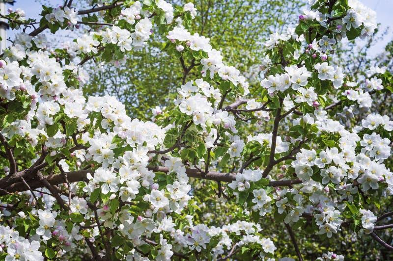 Eine Niederlassung eines blühenden Apfels im Frühjahr Schöner natürlicher Hintergrund lizenzfreie stockfotos