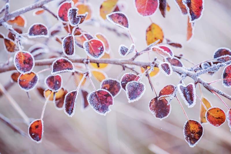 Eine Niederlassung mit den bunten Blättern bedeckt mit Reifkristallen stockfotografie
