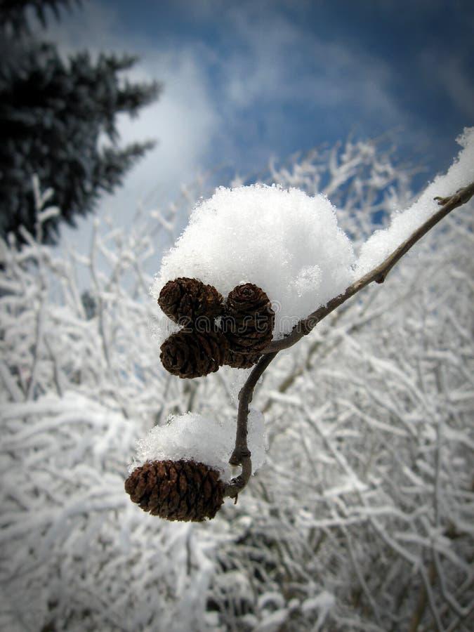 Eine Niederlassung mit den Tannenzapfen bedeckt mit dem Schnee #1 lizenzfreies stockbild