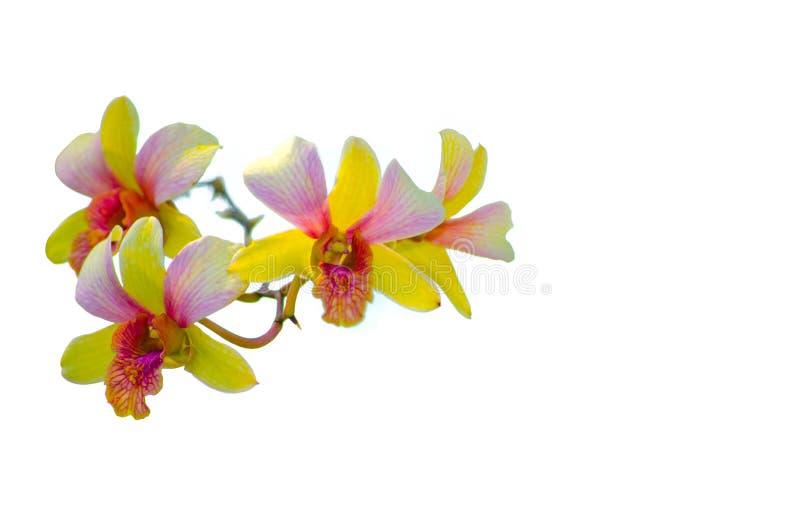 Eine Niederlassung von den Orchideenblumen in gemischter gelber und rosa purpurroter Farbe lokalisiert auf weißem Hintergrund lizenzfreies stockfoto