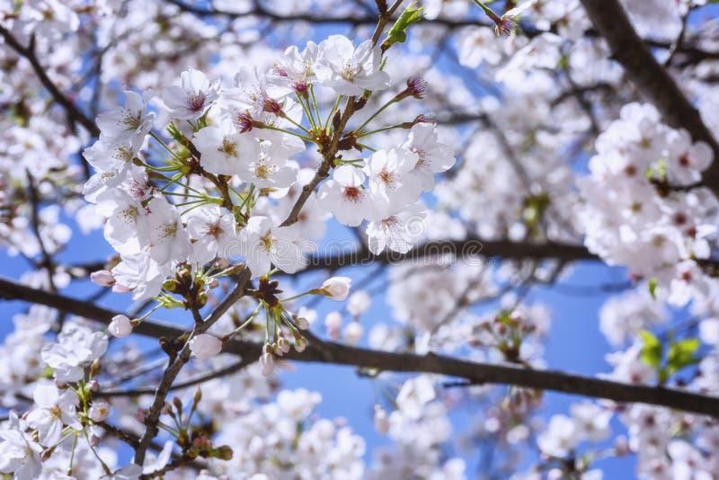 Eine Niederlassung von Kirschblüten gegen den Hintergrund eines hellen blauen Himmels stockfotos