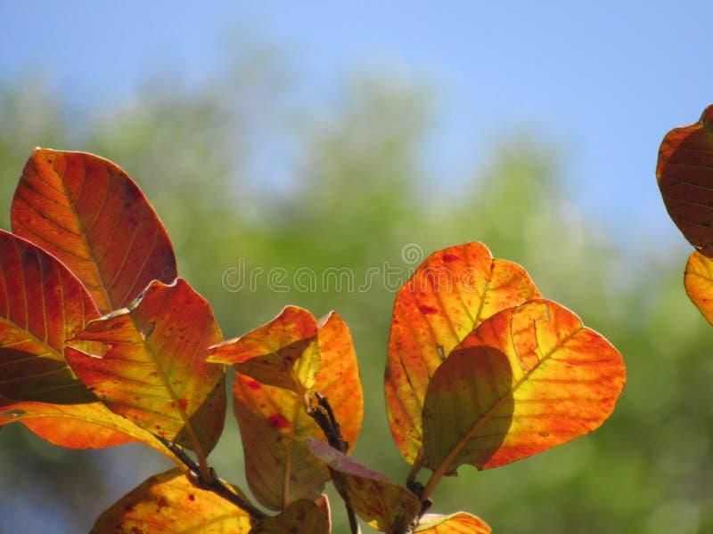 Eine Niederlassung von Orangen-, Grünen und Gelblichenblättern in einem Hintergrund des blauen Himmels lizenzfreie stockfotos