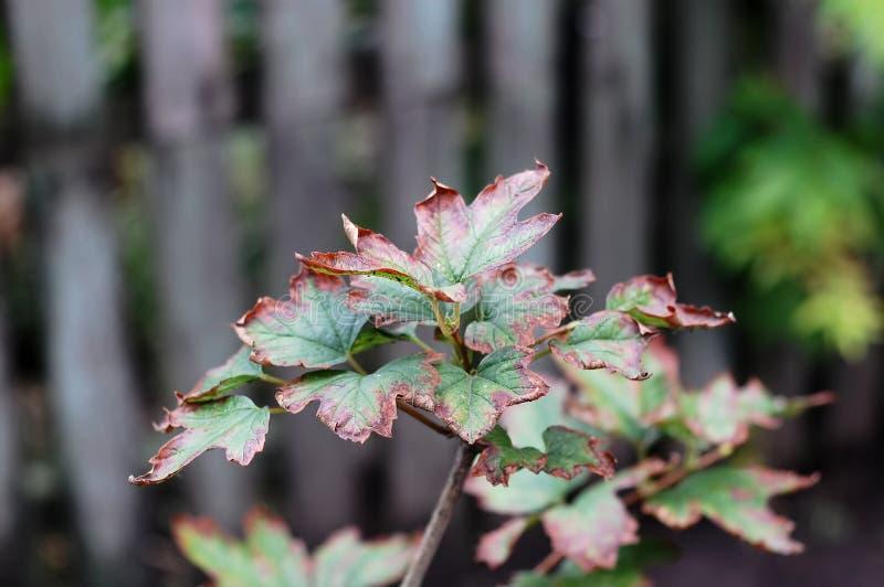 Eine Niederlassung von Viburnum am bewölkten Tag des Herbstes mit trockenen vibrierenden Blättern auf dem Hintergrund des grauen  lizenzfreies stockbild
