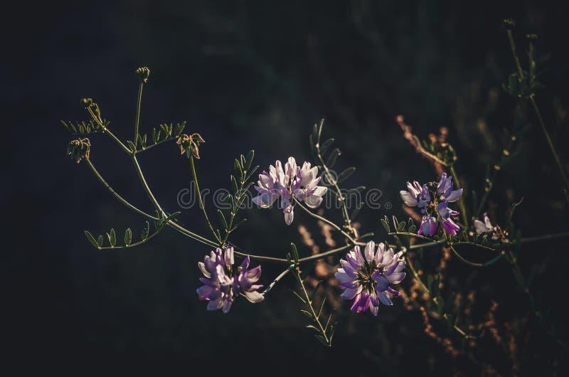 Eine Niederlassung von weißen und lila Wildflowers in den Strahlen der Sonne auf einem dunklen Hintergrund lizenzfreies stockfoto