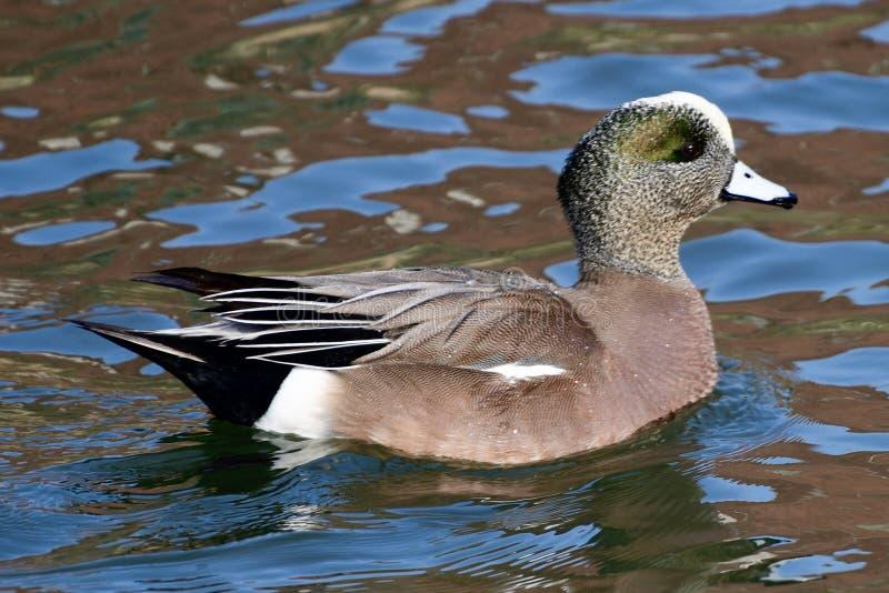 Eine Nordspießenten-Ente lizenzfreies stockbild