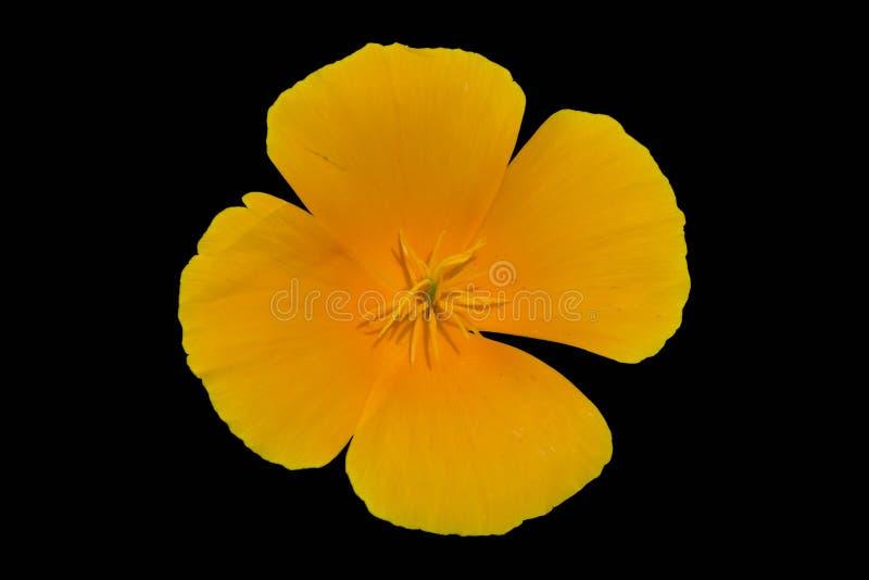 Eine orange Blume der Kalifornien-Sonnenlichtmohnblume lokalisiert auf Schwarzem vektor abbildung