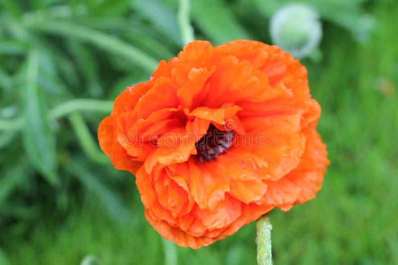 Eine orange Blume stockfoto