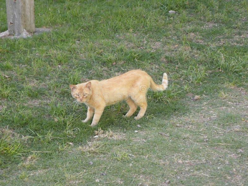 Eine orange Katzenstellung auf Gras stockfoto