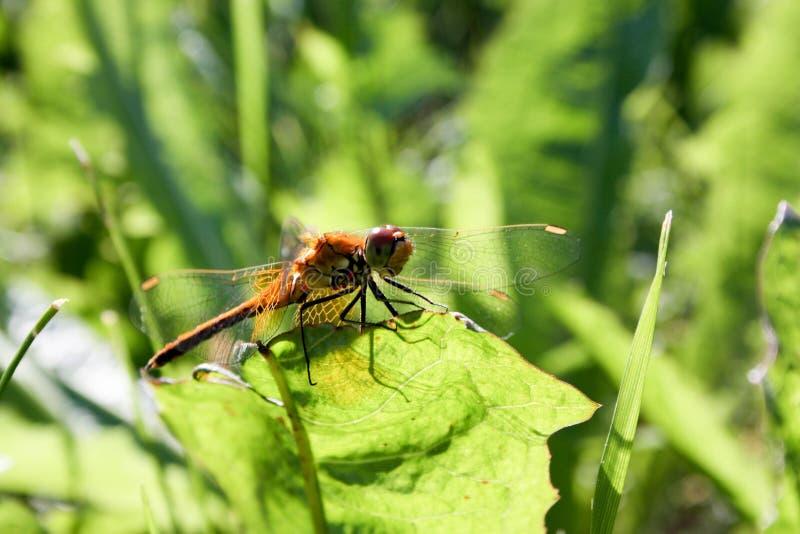 Eine orange Libelle auf einem Grashalm lizenzfreie stockfotografie