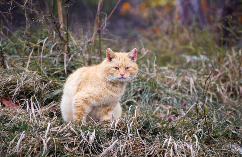 Eine orange Streukatze sitzt auf dem Gras im garden_ stockfotos