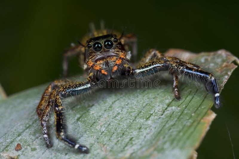 Eine orange und dunkle farbige springende Spinne stockfotografie