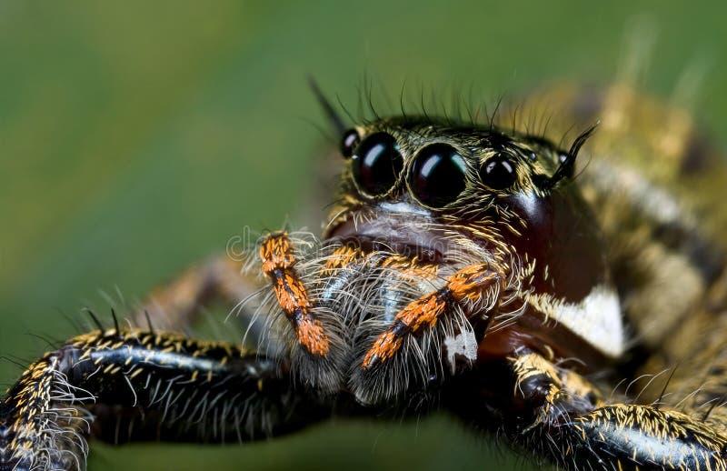 Eine orange und dunkle farbige springende Spinne lizenzfreie stockbilder