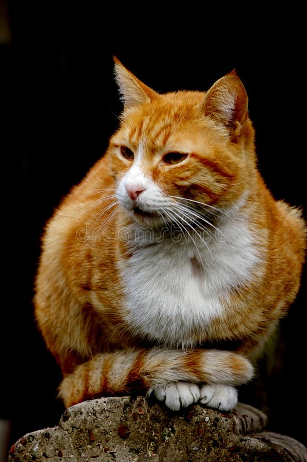Eine orange weiße Katze stockfotos