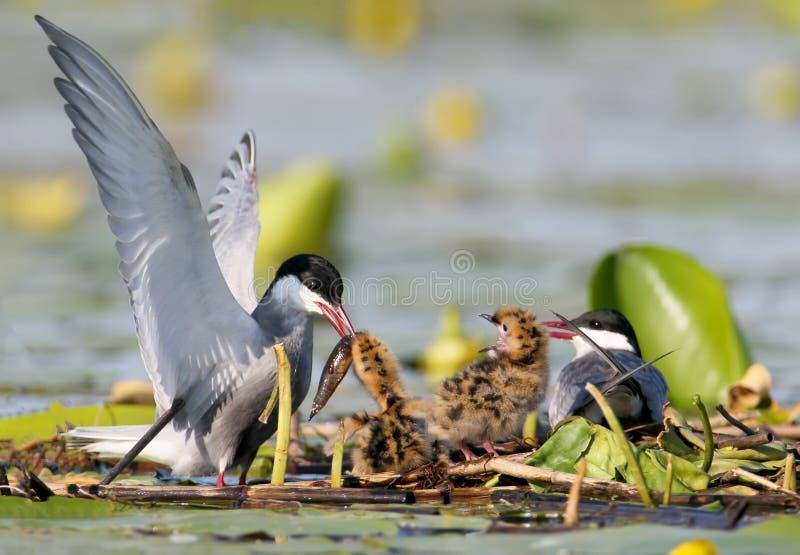 Eine Paarweißbartseeschwalbe, die mit kleinen Fischen zwei nette Küken auf dem Nest einzieht stockfotos