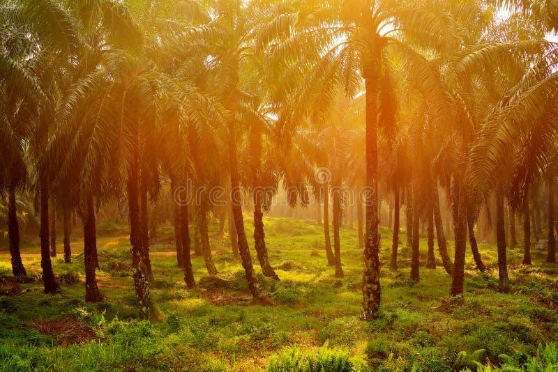 Eine Palmölplantage in Malaysia stockfotografie