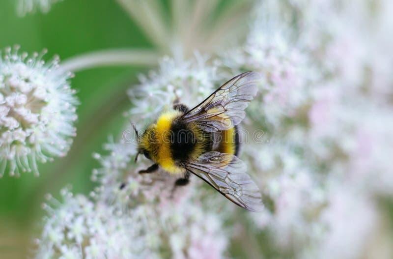 Eine pelzartige gestreifte Hummel sitzt auf einer giftigen wei?en Blume eines Wasser Schierlings auf einem gr?nen Hintergrund Str stockfotos