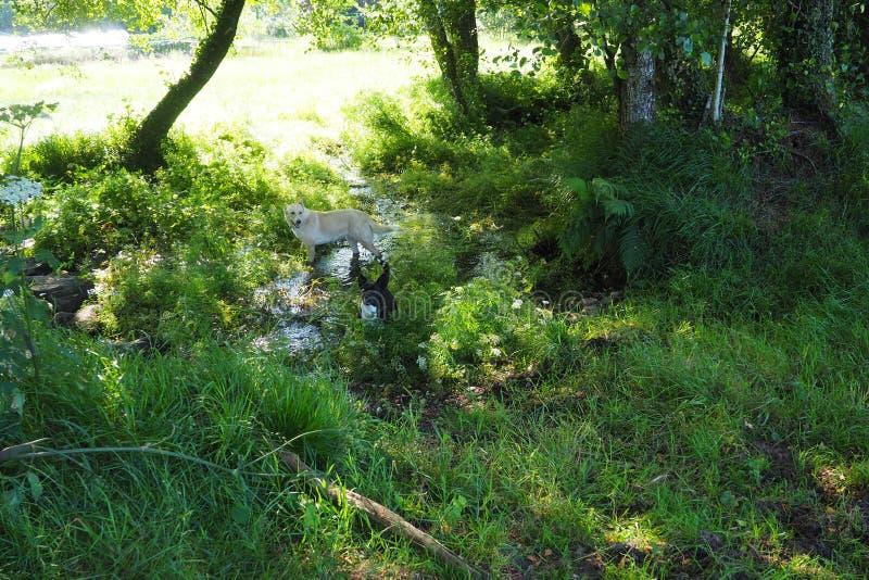 Eine Person, die den rustikalen Schritt von Steinen des kleinen Fluss cataso, Galizien kreuzt lizenzfreies stockbild