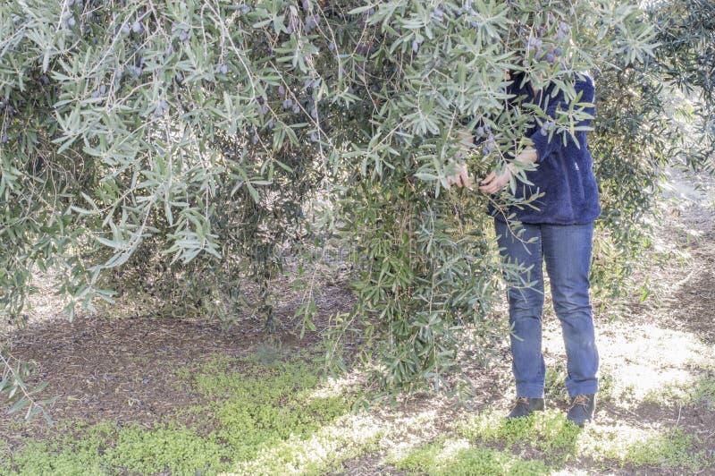 Eine Person sammelt Oliven lizenzfreies stockfoto