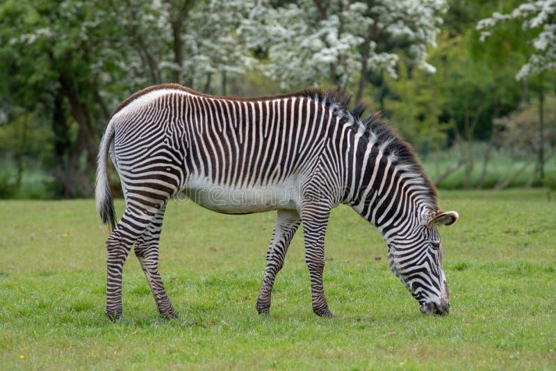 Eine Portr?tansicht eines Zebras, das auf Gras weiden l?sst lizenzfreies stockfoto