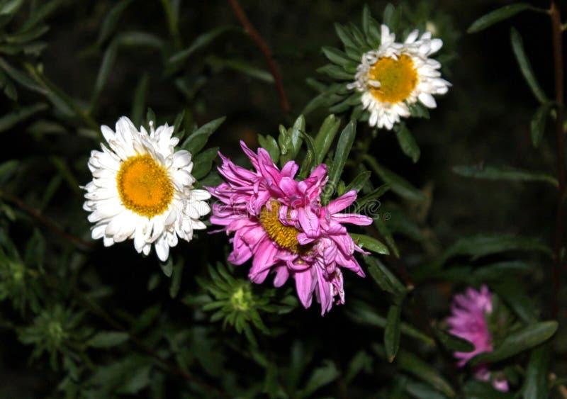 Eine Purpurrote und zwei Weiß sabadosa Blumennacht stockbild