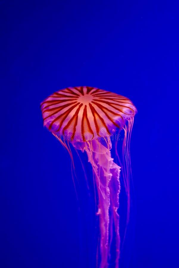 Eine Qualle gegen einen mutigen blauen Hintergrund stockbild