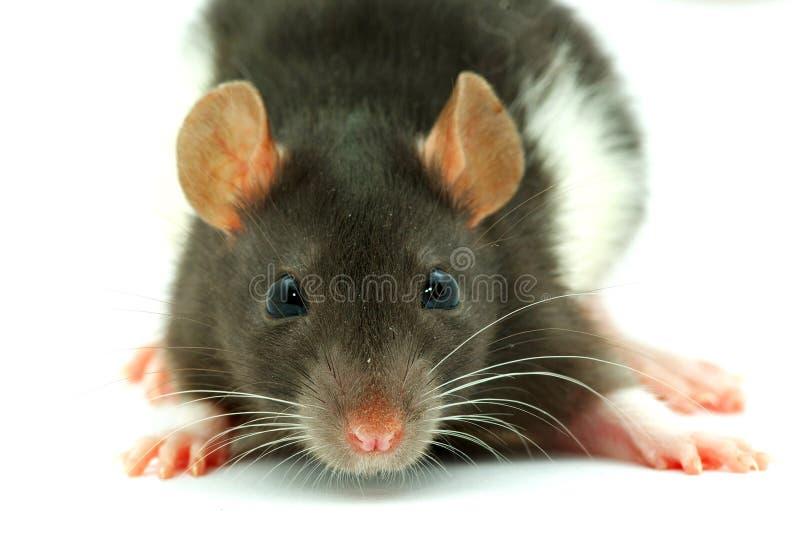 Eine Ratte stockfoto