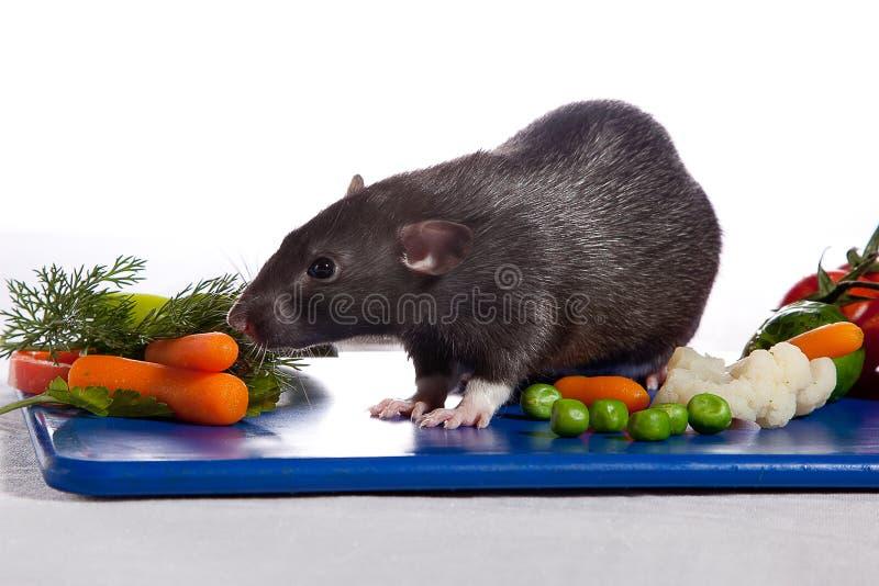 Eine Ratte riecht von den Gemüsekarotten stockbild