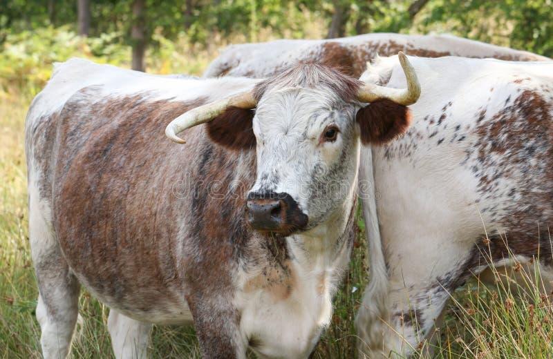 Eine recht Englisch-Longhorn-Kuh, die in einer Wiese weiden lässt stockbild