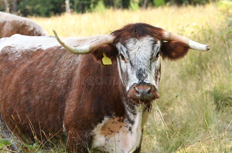 Eine recht Englisch-Longhorn-Kuh, die in einer Wiese weiden lässt lizenzfreie stockbilder