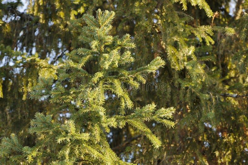 Eine Reihe Baumniederlassungs-Fichtenforstwirtschaft stockfoto