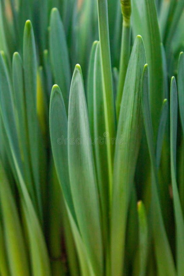 Eine Reihe grüne Narzissen-Blätter stockfoto