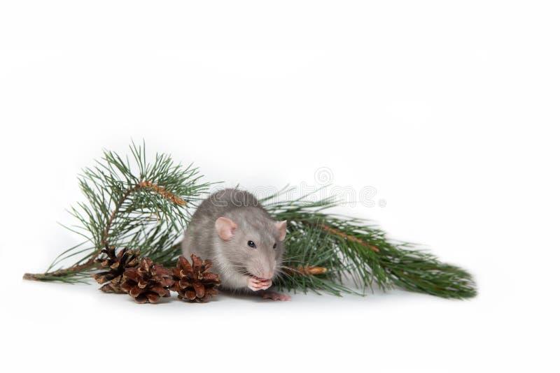 Eine reizend rambo Ratte nahe bei einer Kiefernniederlassung und Kegel auf einem weißen lokalisierten Hintergrund Nettes Haustier stockbilder